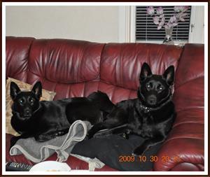 2009-10-30 Dixy & Smilla vilar ut sig efter en dag i skogen