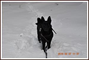 2010-02-07 Dixy på promenad i skogen