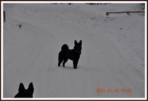 2011-01-15 Kaxa på promenad i skogen