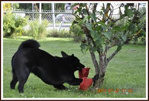 2012-07-22 Kaxa försöker gömma sin leksak