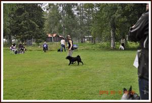 2010-08-14 Fk Loke av Elgberget: En juniorhane kullbror med Uffe