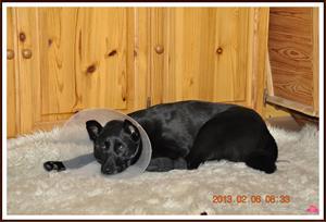 2013-02-06 Dixy har skaddat sin tass och tycker livet är dötråkigt