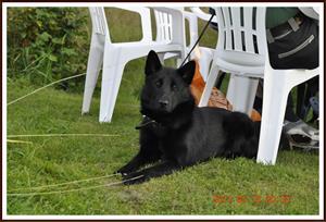 2011-08-13 Laxfjällets Nuppe: Nuppe var bara o hälsade på han var inte med på utställningen