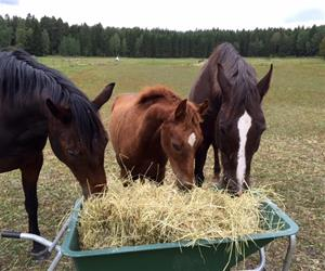 Skottkärra hästar