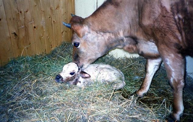 Mor med Kalv