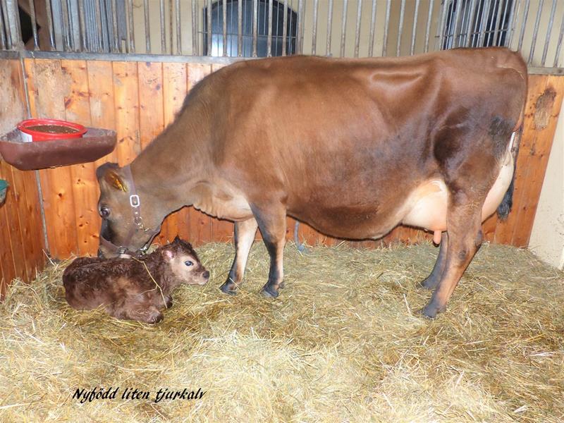 Nyfödd liten tjurkalv