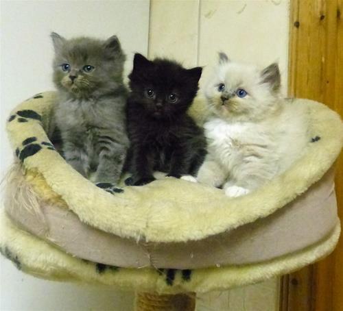 Kajsan och Bertils kattungar 6 veckor gamla