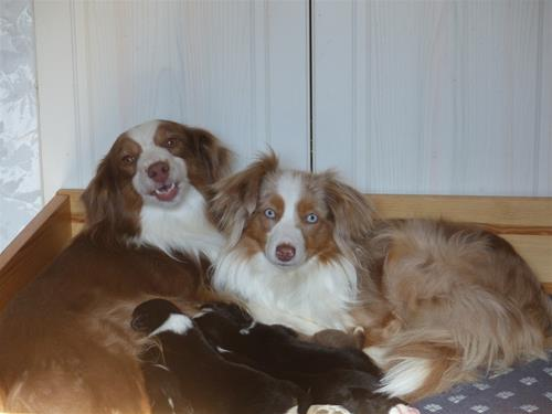 Lilly med dotter Lystra och 2 veckor gamla valpar - Kopia