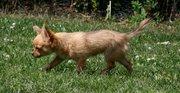 4 månader. Rävlik. Looks like a fox :)