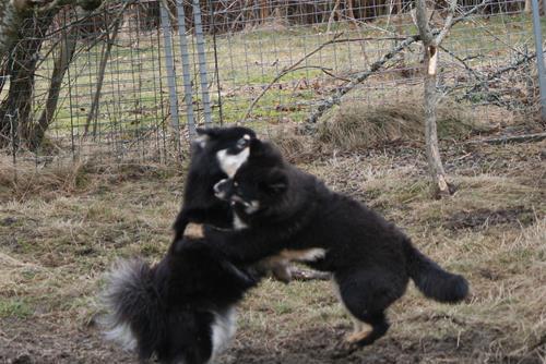Hunde dans