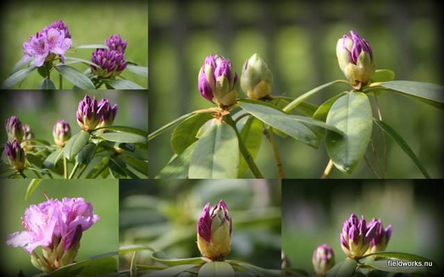 8juni_rododendron