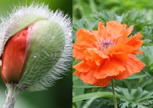 Juni 2021 sommarblommor växter fr Lena tomater