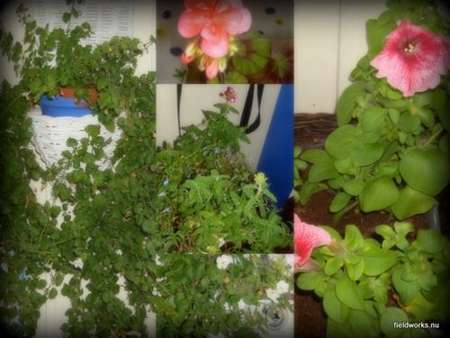9nov (blommor på altan)-001
