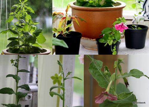 2021 sommarblommor växter fr Lena tomater