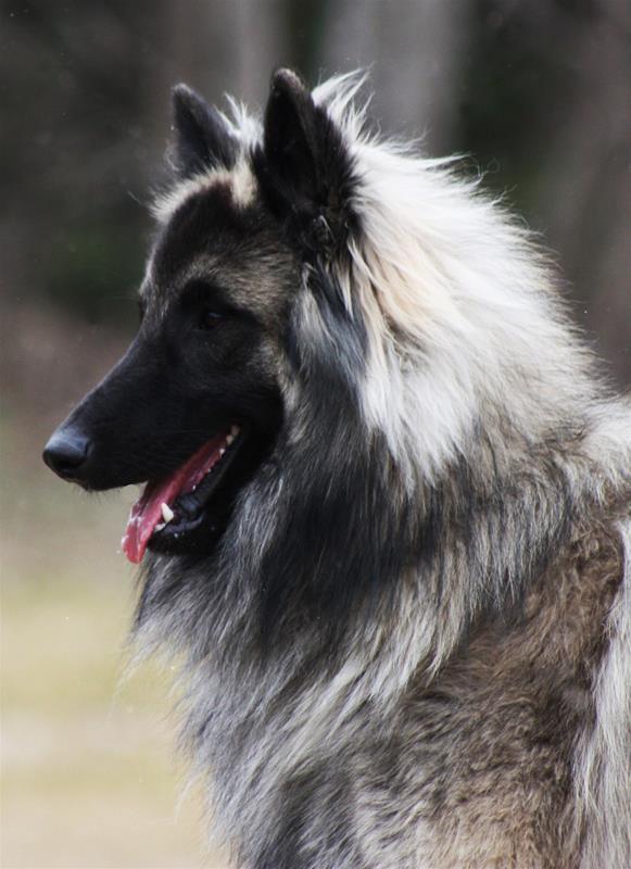 Kennel Himbi's - Belgian Shepherd since 1979