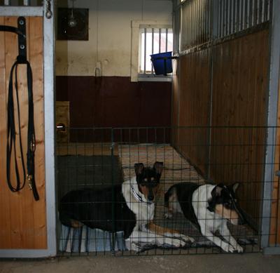 I boxarna får hundarna vara, här mina killar Sammy och Pysen
