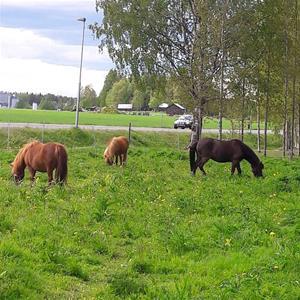 Ponnys på bete
