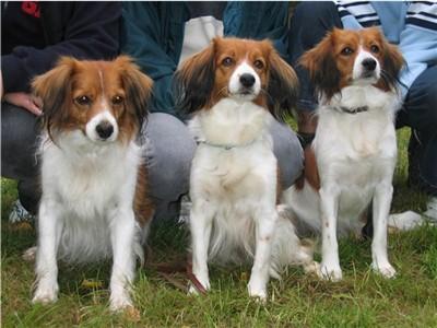 tre kooikers