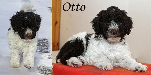 Otto valp-vuxen