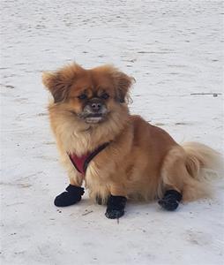 Chanita med sokker for første gang. Eier Svanhild Nærbø