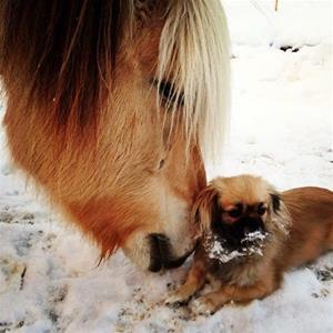 Kjærlighet mellom hest og tibbe. Eier: Renate Aase