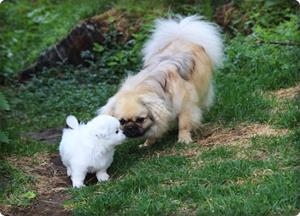 Tibràar Tinda Turquoise Tilde, har besøk av Falkiaros Little Ice Bear Ghost