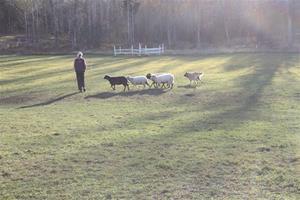 Flatter Herding