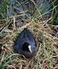 Sothöna på ägg i Hornborgarsjön