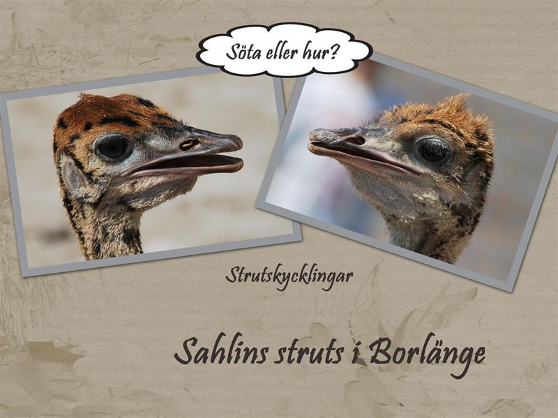 Sahlins-struts-1