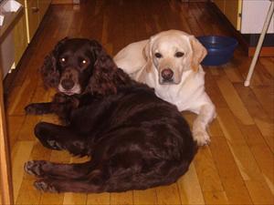 Fröken Rebeccas hundar