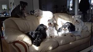 Hundar i soffa