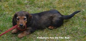 Yodamy's Fox On The Run_2