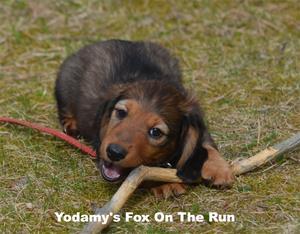 Yodamy's Fox On The Run