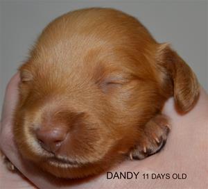 DANDY 11 DAYS