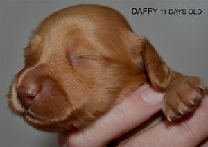 DAFFY 11 DAGAR