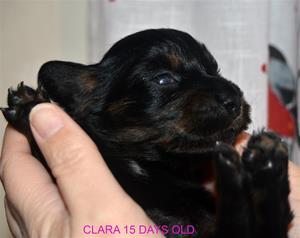 CLARA 15 DAGAR
