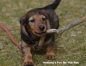 Yodamy's Fox On The Run_1