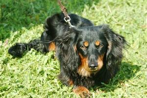 Youki i gräset på hundkursen
