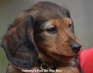 Yodamy's Fox On The Run_8