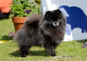 Orsso Jolly Jewel black