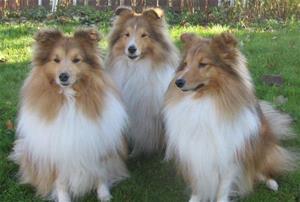 Emil, Madicken och Rosso. Shetland sheepdog.Ägare Birgitta Mörtsjö