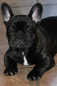 Dark Eye´s Al Fakir Prins Alvin  en Fransk bulldog ägare Martina och Amanda Arnler