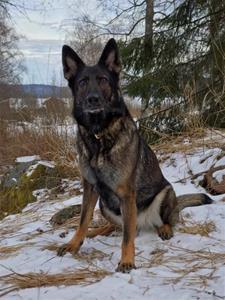 Försvarsmaktens Gimsa Tysk schäferhund ägare Josefina & Christofer Cederberg