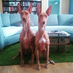 Tyson och Xena är Faraohundar ägare Sofie Fahlin
