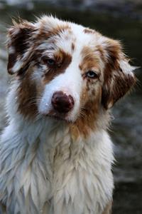 Fable en Australian Shepherd ägare Sandra & Åsa Siverman