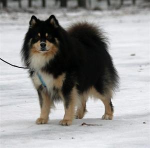 Safir en Finsk Lapphund ägare Karin Stålnacke
