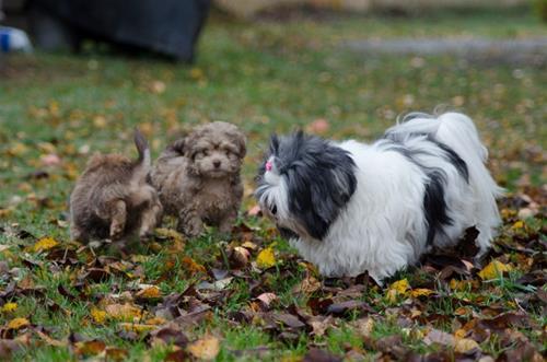 Lhasa apson Becky med Coco och Nelly