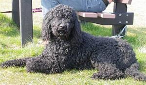 chiens-Barbet-2d51df1e-6e0b-db04-01c5-4fbadb97f826