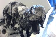 Puddel blir godt shamponert med god shampoo