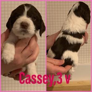 cassey 3v